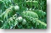 black walnut herb